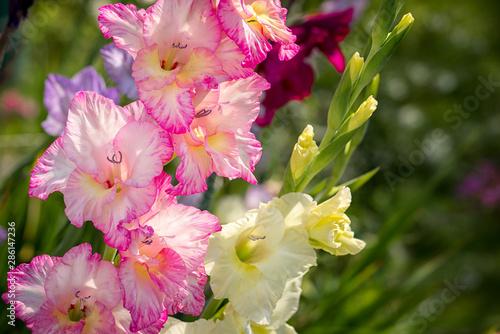 Gladiolus, Sword Lily, pink and yellow Gladiolus flower in the garden Billede på lærred