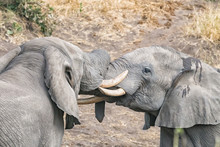 Two African Elephants Testing Their Strength In A Tussle