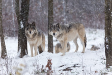 Arctic Wolves Standing On Snow...