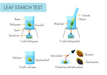 Leaf Starch Test. School Scientific Experiment Proves Photosynthesis In Leaves.