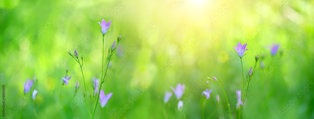 Fototapety, obrazy: summer meadow with blue harebells, shallow depth of field with focus of bellflowers. gentle campanula blue flowers. beautiful backdrop with delicate lilac flowers bells grow. soft selective focus