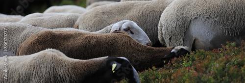 troupeau de brebis du massif central Canvas Print