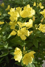 Yellow Flowers Of Perennial En...