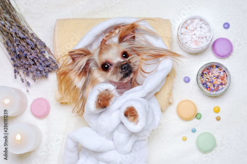 Pretty Yorkshire Terrier dressed in bathrobe laying at the SPA procedures © iagodina