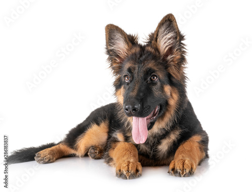 Fotografie, Obraz puppy german shepherd