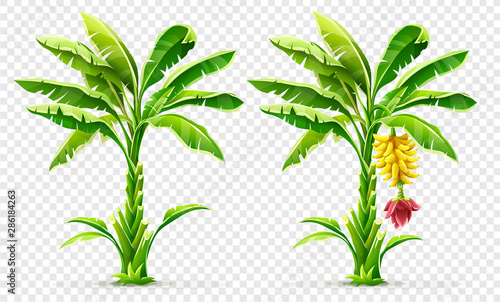 Fototapety, obrazy: Set of Banana palm tree with fruits. Exotic tropical plants with green leaves and flower, Isolated on transparent grid background. Eps10 vector illustration.