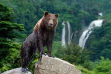 Big Brown Bear Standing On Stone