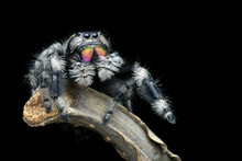 Jumping Spider Closeup Face, Jumping Spider, The Spider Is Eating Insects, Insect Closeup