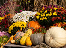Beautiful Autumn Scene With Mums, Pumpkins, And Gourds
