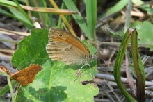 Beautiful Brown Butterfly On Leaf