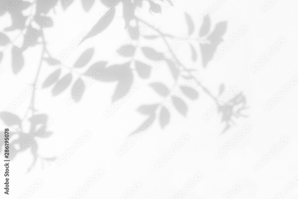 Fototapeta Overlay effect for photo. Gray shadow of the wild roses leaves on a white wall. Abstract neutral nature concept blurred background. Space for text.