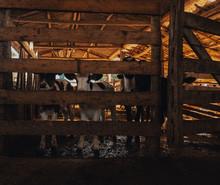 Vacas Leiteiras No Curral
