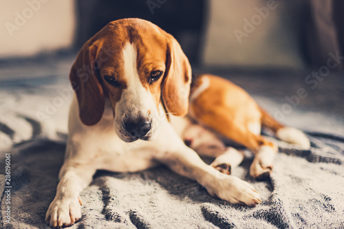 Foto  Dog lying down on sofa in bright room on blanket. Copy space