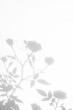 Overlay Effect For Photo. Gray Shadow Of The Wild Roses Leaves And Flowers On A White Wall. Abstract Neutral Nature Concept Blurred Background. Space For Text.