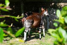 Exotic Zebra Okapi Animal At The Zoo. Summer Day.
