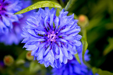 Blue Cornflower In The Garden ...