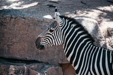 Portrait Of Striped Zebra In The Wild