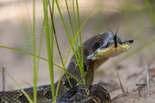 Tela Hognose snake bluffing