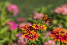 Gulf Fritillary Butterfly On Zinnia Flowers
