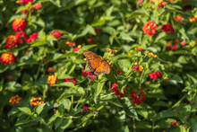 Gulf Fritillary Butterfly On Lantana Flowers