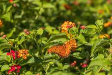 Gulf Fritillary Butterfly On Lantana Flowers