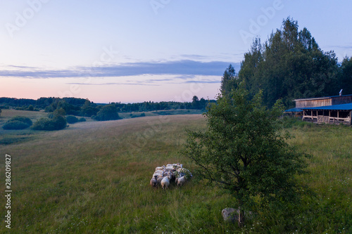 Photo Stands Roe Flying over the field with grazing sheep