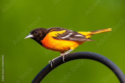 Portrait of Oriole perched on hoop - 286215846