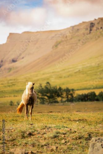 Horses, Iceland