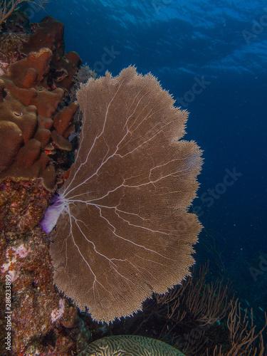 gorgonia flabellum venezuela -  los roques Canvas Print