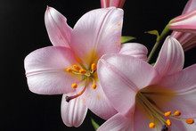 Large Pink Lily Flowers On A Black Background, Bright Natural Color, High Contrast.