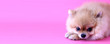 canvas print picture - Pomeranian dog with pink backdrop and copy space.