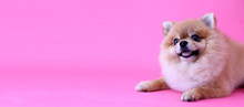 Pomeranian Dog With Pink Backd...