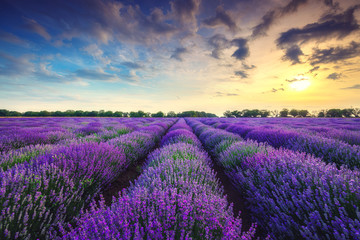 Fototapeta Lawenda Lavender flower blooming fields in endless rows