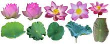 Lotus Flower Pink With Green Lotus Leaves Set Against White Background. Have Clipping Path