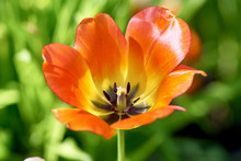 Red Tulip, Variety Apricot Emperor. Flower Opened In The Sun, Close-up. Concept Spring