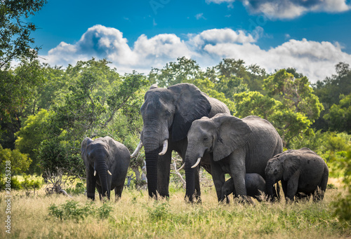 Photo  Elephants family in Kruger National Park, South Africa.