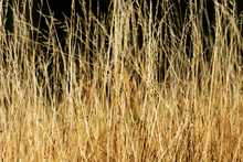 Close-up Of A Meadow With Tall Golden Dry Grass, Full Frame, Background