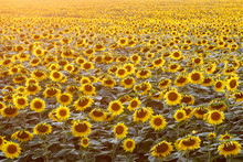 Sunflowers Wallpaper. Floral Background, Natural Texture.
