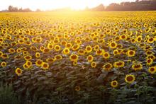 Sunflowers Wallpaper. Floral B...
