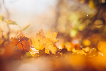 Sunrays Illuminate The Dry, Gold Beech Leaves Covering The Forest Ground. Golden Autumn Leaves On The Ground. Texture Of Autumn Maple Leaves.