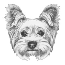 Portrait Of Yorkshire Terrier ...