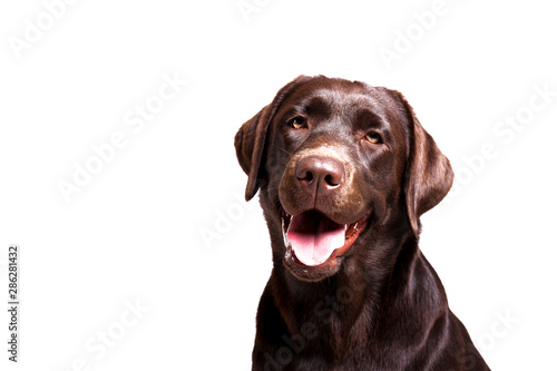 Portrait of eighteen months old chocolate labrador retriever isolated on white background Canvas Print