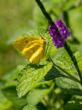 Cloudless Sulphur Butterfly (P...