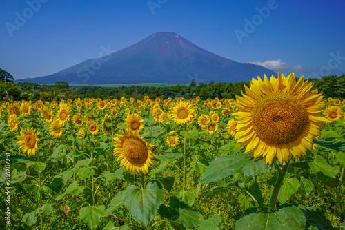 Photo 富士山 向日葵