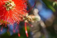 African Honeybee (Apis Mellife...