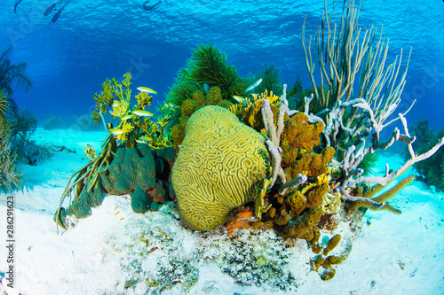 Reef scenery, Yellow tube sponge (Aplysina fistularis)coral Los roques - venezue Canvas Print