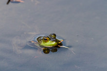 Green Frog In Canadian Lake