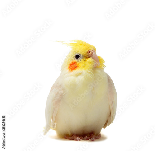 Portrait of parrot Cockatiel on white background Tapéta, Fotótapéta