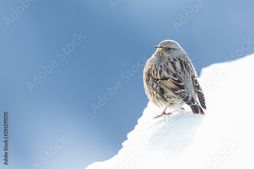 Photo  close-up isolated alpine accentor (prunella collaris) on snow