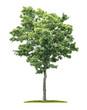 Leinwanddruck Bild - An isolated maple tree on a white background